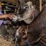 FOTO PETERNAKAN JATENG : Perawat Ternak Raup Jutaan Rupiah