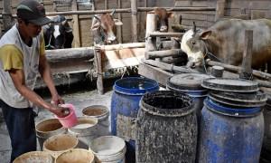 Peternak memberikan garam kualitas rendah sebagai salah satu bahan campuran suplemen bagi sapi-sapi potong miliknya di peternakan di Bawen, Kabupaten Semarang, Jateng, Rabu (2/8/2017). (JIBI/Solopos/Antara/Aditya Pradana Putra)
