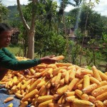 PERTANIAN PONOROGO : Harga Jual Melorot, Petani Tukarkan Jagung dengan Beras