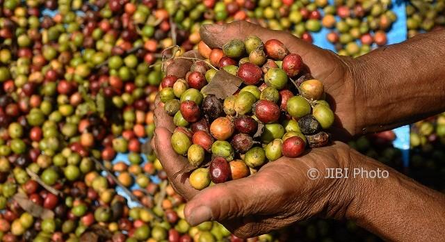 Ilustrasi green bean alias kopi basah. (JIBI/Solopos/Antara/Yusuf Nugroho)