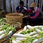 FOTO INFO BELANJA : Panen Raya, Harga Lobak Merosot