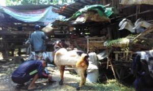 Pedagang hewan kurban tawarkan kambing di pasar hewan dadakan di Batang, Jawa Tengah (Jateng). (JIBI/Solopos/Antara/Kutnadi)