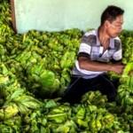 Pekerja menata daun tembakau di tempat pengepul di Desa Tanggungharjo, Grobogan sebelum dikirim ke Temanggung, Sabtu (12/8/2017). (JIBI/Solopos/Antara/Aji Styawan)