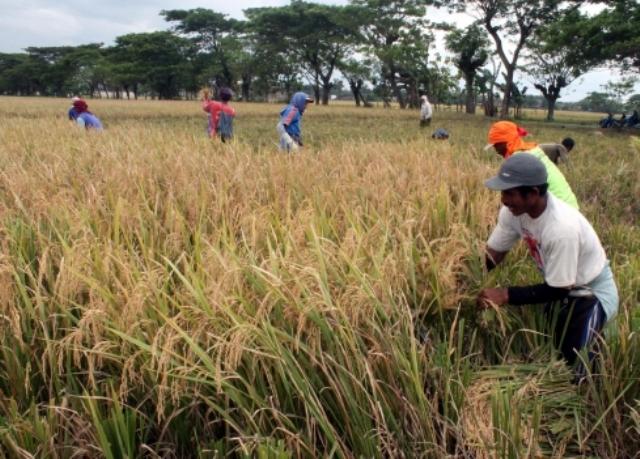 Panen padi di Tangkil, Sragen Kota, Sragen