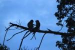 GAGASAN : Konflik Manusia dan Monyet Ekor Panjang