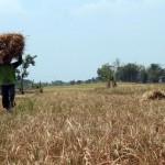 PERTANIAN SRAGEN : Kekurangan Air, Puluhan Hektare Tanaman Padi Gagal Panen