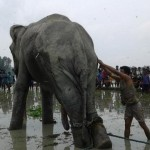 Pengungsi Rohingya Tewas Terinjak Gajah