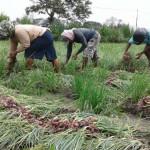 PERTANIAN KULONPROGO : Khawatir Membusuk, Petani Bawang Merah Panen Dini