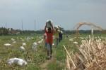 PERTANIAN KULONPROGO : Diguyur Hujan, Petani Melon Panen Dini