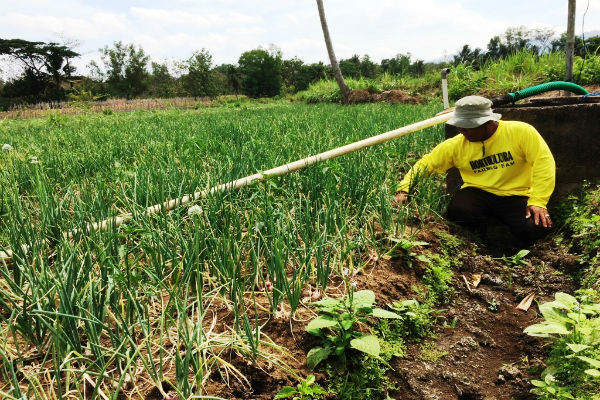 Jasnuri melakukan pemeliharaan tanaman bawang merah yang ada di Dusun Garotan, Desa Bendung, Semin. Kamis (14/9/2017). (David Kurniawan/JIBI/Harian Jogja)