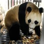 Kedatangan Giant Panda, Taman Safari Bangun Fasilitas Senilai >Rp50 Miliar