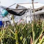 FOTO PENGHIJAUAN SEMARANG : Bibit Mangrove Disiapkan di Tambakrejo