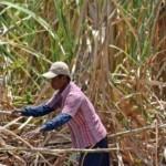 FOTO PERKEBUNAN JATENG : Tebu Kaliwungu Dipanen Buruh Tani