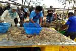 BANDARA KULONPROGO : Terdampak Pembangunan NYIA, Penambak Udang Panen Dini