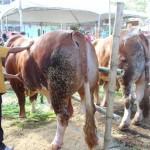 Pukau Penonton Kontes Ternak Jateng, Begini Cara Peternak Gemukkan Sapi