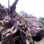 Pohon Setinggi 25 Meter Berusia 100 Tahun Tumbang, Jalan Randusari-Klaten Sempat Macet