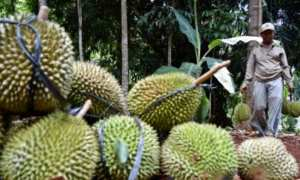 Petani memanen buah durian lokal (Durio zibethinus) di perkebunan Gunungpati, Kota Semarang, Jateng, Kamis (26/10/2017). (JIBI/Solopos/Antara/Aditya Pradana Putra)