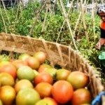 FOTO INFO BELANJA : Harga Tomat Bandungan Melambung