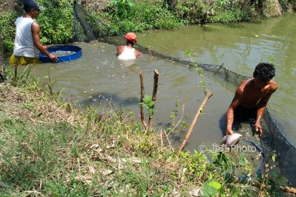 Sejumlah warga memanen ikan gurami di Dusun Sarengan, Srigading, Sanden, Bantul, Jumat (29/9/2017). (Bhekti Suryani/JIBI/Harian Jogja)