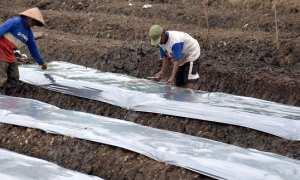 Dua petani memasang plastik mulsa di lahan pertanian cabai di Pringapus, Kabupaten Semarang, Jateng, Rabu (11/10/2017). (JIBI/Solopos/Antara/Aditya Pradana Putra)