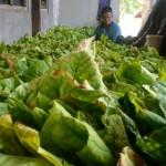 TANAMAN TEMBAKAU: Petani Tembakau Siapkan Alat Bantu