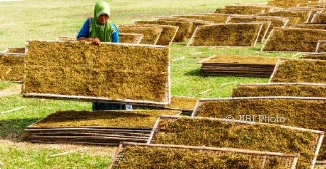 Pekerja menjemur tembakau rajangan di sentra penghasil tembakau di Desa Wonorejo, Guntur, Demak, Jateng, Senin (2/10/2017). (JIBI/Solopos/Antara/Aji Styawan)