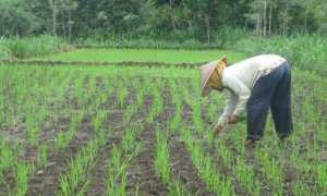 Seorang petani di Desa Piyaman, Kecamatan Wonosari sedang menanam bibit padi, Rabu (22/11/2017). (Irwan A. Syambudi/Harian Jogja)