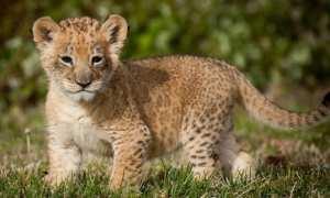 Ilustrasi bayi singa (deskbg.com)