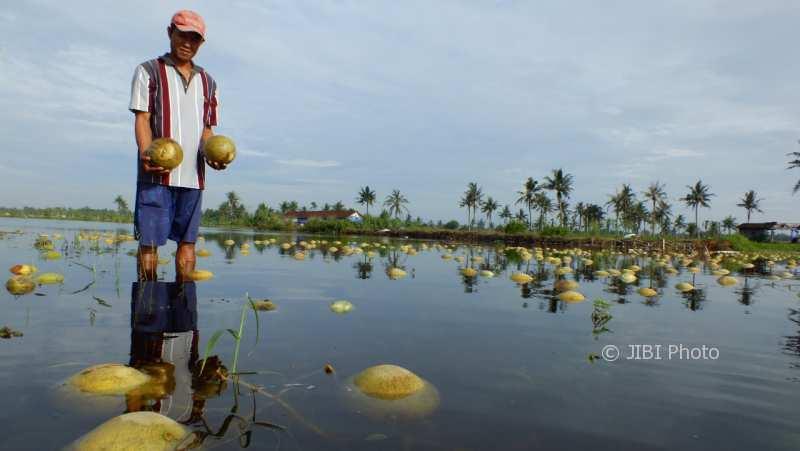 Seorang petani sedang berada di lahan melon yang terendam banjir, Minggu (3/12/2017). (Harian Jogja/Uli Febriarni)