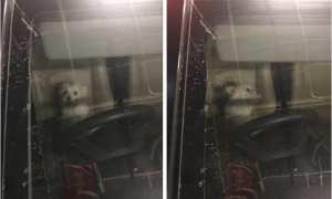 Anjing jenis maltese ini ditinggalkan di mobil oleh pemiliknya selama kurang lebih delapan jam. (Istimewa/Twitter)