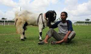Gandung bersama kambing jinak miliknya saat berjalan-jalan di Stadion Sultan Agung, Bantul, Kamis (7/12/2017). (Rheisnayu Cyntara/JIBI/Harian Jogja)