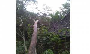 Pohon tumbang menimpa rumah warga di Wonogiri, Jumat (26/1/2018). (Rudi Hartono/JIBI/Solopos)