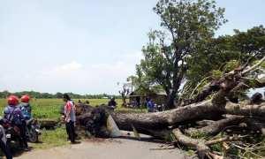 Sejumlah pengendara motor melewati pinggir jalan untuk menghindari pohon tumbang di jalan Sragen-Balong, Dukuh/Desa Ngarum, Ngrampal, Sragen, Selasa (30/1/2018). (Istimewa/Dwi Sigit Kartanto, BPBD Sragen)