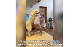 Seekor anjing berusaha melerai dua bocah yang berkelahi (Instagram)