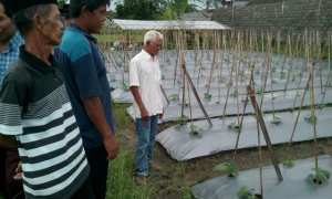Sejumlah petani melihat tanaman timun di lahan pertanian di Dusun Plombon, Desa Sardonoharjo, Kecamatan Ngaglik beberapa waktu lalu. (Istimewa)