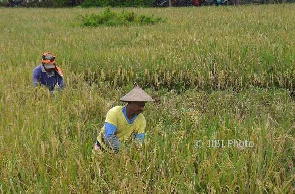 Sejumlah petani memanen padi saat masa tanam (MT) I di Kelurahan Sonorejo, Kecamatan Sukoharjo, Jumat (12/1/2018). (Bony Eko Wicaksono/JIBI/Solopos)