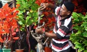 Perajin membikin kerajinan pohon hias dengan memanfaatkan limbah pohon kopi di sentra kerajinan Tuntang, Kabupaten Semarang, Jateng, Jumat (12/1/2018). (JIBI/Solopos/Antara/Aditya Pradana Putra)