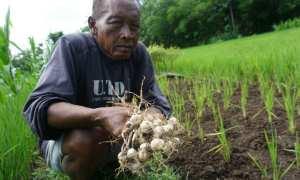 Petani bawang putih di Logandeng, Playen, Sungkono menunjukan bawang putih jenis lumbu putih, Senin (8/1/2018). (Herlambang Jati Kusumo/JIBI/Harian Jogja)