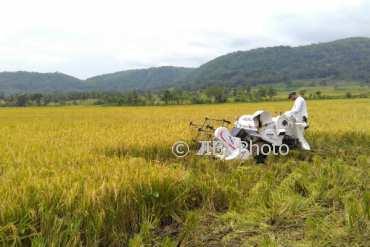 Seorang petani sedang memanen padinya di sebuah sawah di Desa Jatisarono, Nanggulan, Kulonprogo. (Uli Febriarni/JIBI/Harian Jogja)