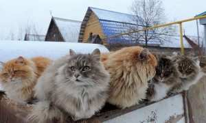 Kucing di peternakan Koshlandia (Oddity Central)