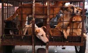 Anjing berada di dalam kerangkeng yang siap di jual untuk konsumsi di pasar Tomohon, Sulawesi Utara. (Nurul Hidayat/JIBI/Bisnis)