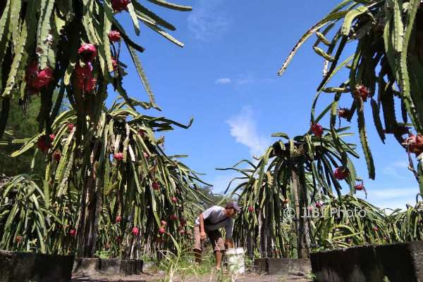 Kebun buah naga di Pantai Pandansari, Kecamatan Sanden mulai dipanen, Rabu (7/2/2018). (Rheisnayu Cyntara/JIBI/Harian Jogja)