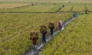 Buruh tani memanggul padi saat panen raya di areal persawahan Penawangan, Grobogan, Jateng, Selasa (6/2/2018). (JIBI/Solopos/Antara/Aji Styawan)