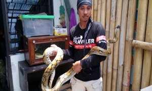 Pawang ular dari Semarangker, Slamet Wisnu Aji, menunjukan ular hasil tangkapannya di markas Semarangker, Jl. Lamper Tengah, Semarang, Rabu (21/3/2018). (Imam Yuda S./JIBI/Semarangpos.com)