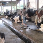 Pascabencana, produksi susu Boyolali mulai pulih
