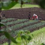"""PERTANIAN BANTUL : Harga Bawang Merah """"Memuaskan"""" Petani"""