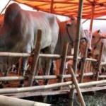Peternak sapi lokal dapat angin segar