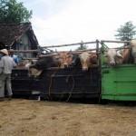 Surplus sapi potong, petani-peternak tetap terpuruk