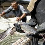 PERINGATAN SUMPAH PEMUDA : Anggota Karangtaruna di Magelang Tebar 1,5 Kuintal Ikan