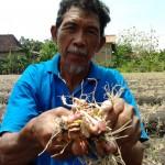 Ulat hijau menyerang, petani bawang merah gagal panen